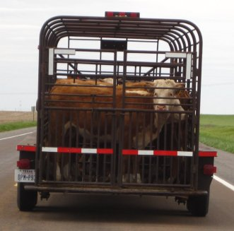 Transporting Cattle